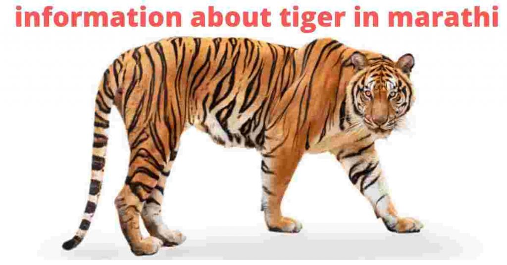 information about tiger in marathi